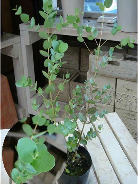 ユーカリの木 グニー 3号苗(ポット)大きく育てて自分流のガーデニングに仕上げて下さい♪植え替え・寄せかご・寄せ植えなどに♪