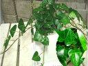 ハート形の葉っぱ♪ハートアイビー♪ヘデラ サーク インテリア陶器鉢植え 受け皿付き誕生日やお祝い・プレゼントや景品にも♪ミニ観葉…
