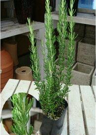 立ち性ローズマリー 苗(ポット)大きく育てて自分流のガーデニングに仕上げて下さい♪植え替え・寄せかご・寄せ植えなどに♪