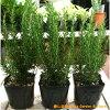 立ち性ローズマリー3株お買い得セット販売大きく育てて自分流のガーデニングに仕上げて下さい♪植え替え・寄せかご・寄せ植えなどに♪