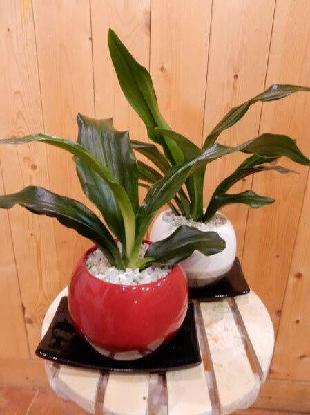 ちびっ子で可愛いサイズの万年青(オモト)有田♪和のオシャレインテリア陶器鉢♪鉢カラーをお選びください♪スタイリッシュな観葉植物♪お祝い事に♪引越し祝いなどに♪【楽ギフ_包装】【楽ギフ_メッセ入力】