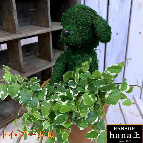 母の日 ギフト アニマルトピアリーモス♪動物シリーズ♪トイプードル (犬)♪Sサイズ斑入りフィカスプミラを植え付けています♪テラコッタ陶器鉢植え 場所取らずでちょこっと置くだけ♪誕生日やお祝い・プレゼントや景品にも♪