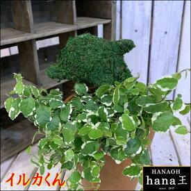 アニマルトピアリーモス♪動物シリーズ♪イルカさん (ドルフィン)♪Sサイズ斑入りフィカスプミラを植え付けています♪テラコッタ陶器鉢植え 場所取らずでちょこっと置くだけ♪誕生日やお祝い・プレゼントや景品にも♪