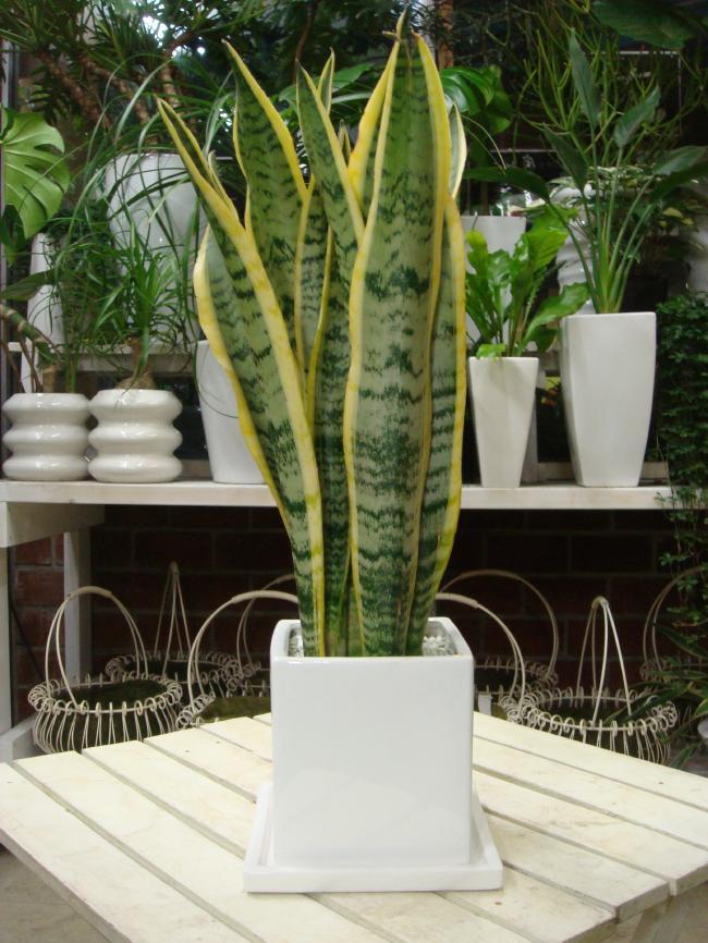 サンスベリア(虎の尾)インテリア陶器鉢 受け皿付き室内の空間にマイナスイオン効果を♪【ミニ観葉植物】『One's Gardenオリジナル作成 植え替え済みで高級感』【楽ギフ_包装】【楽ギフ_メッセ入力】