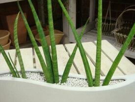 サンスベリア バキュラリス(ミカド)ネオコール仕様(ハイドロカルチャー)♪進化した木炭です♪天然素材のECO スタイリィッシュ♪【ミニ観葉植物】『One'sオリジナル作成 植え替え済みで高級感』