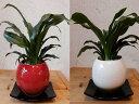 万年青(オモト)有田♪和のオシャレインテリア陶器鉢♪鉢カラーをお選びください♪スタイリッシュな観葉植物♪お祝い事に♪引越し祝い…