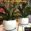 万年青(オモト)有田 2鉢セットのお買い得販売♪和風の和み♪テーブルサイズ(S-サイズ)インテリア陶器鉢植え 受け皿付き 弊社植え替…