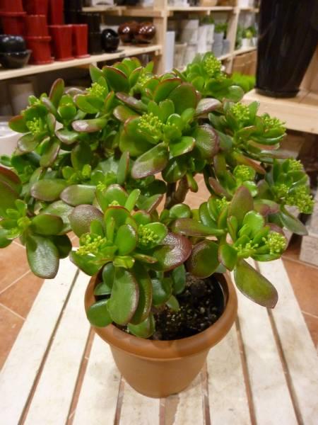 お金のなる木 成金草(花月・かげつ)花付き 和を代表する花♪ 5号鉢