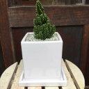 セレウス電磁波吸収サボテン(セレウスベルヴィアヌス )ミニ観葉植物サイズ♪インテリア陶器鉢 受け皿付きモダン風アジアンテイスト♪…