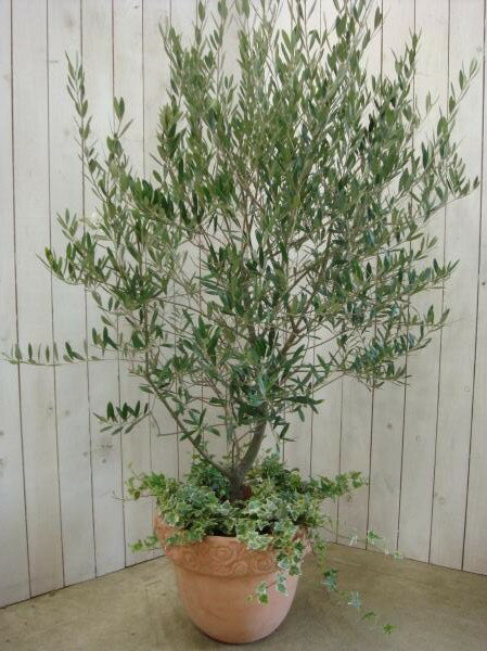 オリーブの木&ヘデラ(アイビー)のシンプル寄せ植え仕立て♪コンテナガーデン LL−サイズ 存在感のある記念樹のシンボルツリー♪記念の日に♪【SOUJU/創樹】【楽ギフ_メッセ入力】【送料無料】