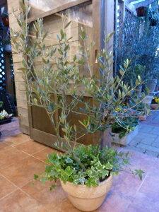オリーブの木 品種違い2本寄せ植え Oli-me(オリーミー)オリー実 アイビーを垂らしてオシャレ仕上げ♪M-サイズ テラコッタ陶器鉢植え 大きく育てて下さい♪一軒家やショップさんのシンボ