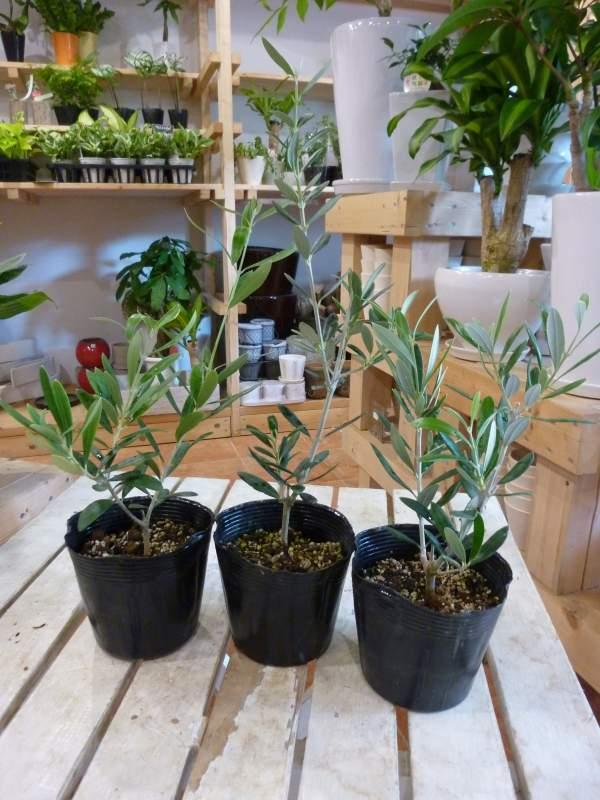オリーブの木 3.5号ポット(苗)3ポットお買い得セット販売 ピンチ物(枝ぶりを良くする処理) 品種違いでのお届け(品種がわかるラベル付き)自分流のガーデニングに仕上げて下さい♪植え替え・寄せ植えに♪大きく育てて下さいネ♪オリーブ 苗木