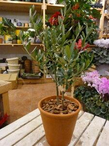 オリーブの木 2本寄せ植え Oli-me(オリーミー) (品種違いで実が付きやすい)テラコッタ陶器鉢植え仕上げ一軒家やショップさんのシンボルツリー開店祝い 新築祝いにも♪創樹 olive オリ