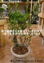 【送料無料】オリーブの木 2本寄せ植え Oli-me(オリーミー) (品種違いで実が付きやすい)イタリアンカフェの入…