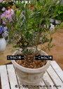 【送料無料】オリーブの木 2本寄せ植え Oli-me(オリーミー)タイプ2品種違いで実が付きやすい イタリアンカフェの入口やモデルハウス…