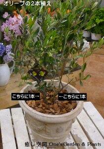 【送料無料】オリーブの木 2本寄せ植え Oli-me(オリーミー)タイプ2品種違いで実が付きやすい イタリアンカフェの入口やモデルハウスなどに♪アンティーク風テラコッタ陶器鉢植え仕上げ