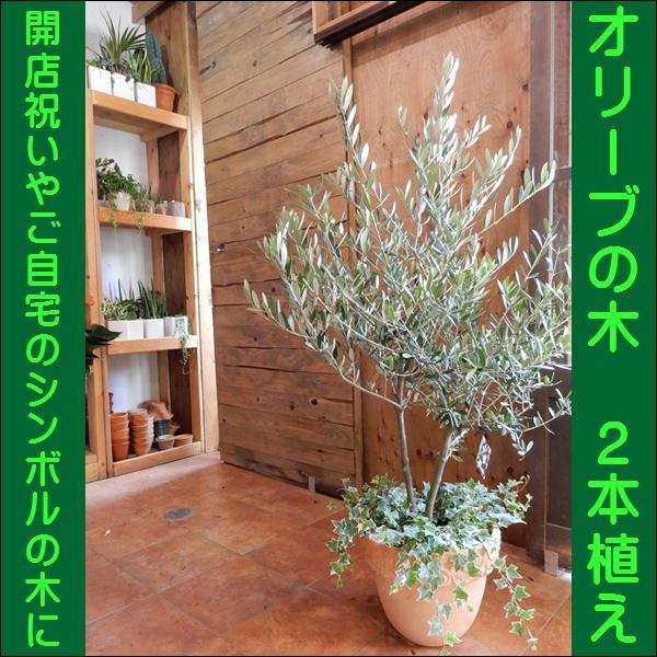 オリーブの木 品種違い2本寄せ植え Oli-me(オリーミー) アイビーを垂らしてオシャレ仕上げ♪L-サイズ テラコッタ陶器鉢植え 大きく育てて下さい♪【楽ギフ_包装】【楽ギフ_メッセ入力】【送料無料】