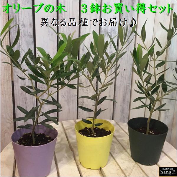 オリーブの木 3.5号鉢植え ポット(苗)3ポットお買い得セット販売 ピンチ物(枝ぶりを良くする処理) 品種違いでのお届け(品種がわかるラベル付き)自分流のガーデニングに仕上げて下さい♪植え替え・寄せ植えに♪大きく育てて下さいネ♪オリーブ 苗木