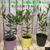オリーブ3.5号ポット(苗)3ポットお買い得セット販売ピンチ物(枝ぶりを良くする処理)自分流のガーデニングに仕上げて下さい♪植え替え・寄せかご・寄せ植えなどに♪大きく育てて下さいネ♪