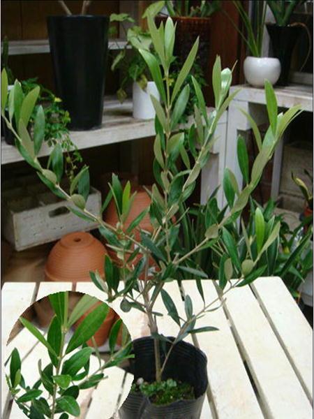 オリーブの木 3.5号ポット(苗) ピンチ物(枝ぶりを良くする処理) 自分流のガーデニングに仕上げて下さい♪植え替え・寄せかご・寄せ植えなどに♪大きく育てて下さいネ♪オリーブ 苗木