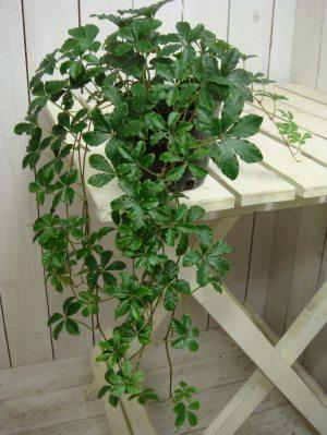 シッサスシュガーバイン 3号 ポット 苗 自分流の室内空間に植え替えして仕上げて下さい♪アジアンチックやモダン風・トロピカル風のインテリア寄せ植えなどにも♪インテリアに人気の観葉植物