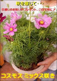 コスモス寄せ植え ミックスカラー♪オシャレな玄関作りに♪アンティーク風のテラコッタ陶器鉢植え♪『期間限定』秋の季節を感じて下さい♪【送料無料】