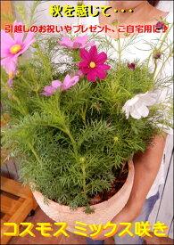 コスモス寄せ植え ミックスカラー Lサイズ♪オシャレな玄関作りに♪テラコッタ陶器鉢植え♪『期間限定』秋の季節を感じて下さい♪【送料無料】