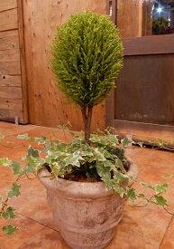 コニファーゴールドクレスト トピアリー(スタンド)仕立て&アイビーのシンプル仕上げの寄せ植え♪アンティーク風のテラコッタ陶器鉢植え♪一軒家やショップさんのシンボルツリーにお花じゃないので手間がかからない♪『オリジナル植え替え セット植え 鉢』