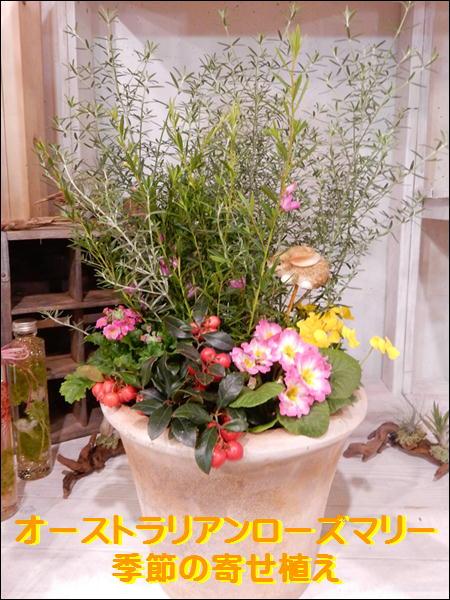 【秋〜冬バージョン】オーストラリアンローズマリー(ウエストリンジア)季節の寄せ植え♪アンティーク風のテラコッタ陶器鉢植え♪オシャレな玄関作りに♪【楽ギフ_包装】【楽ギフ_メッセ入力】【送料無料】