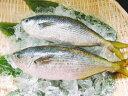 タカベ(生・冷蔵・2本 ウロコを引き、エラ・腹抜き)旨い焼き魚!脂も乗りお塩と一体となったジューシーな身は甘味を…