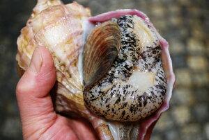 殻真つぶ貝(生・冷蔵) 約350g!大きさにビックリ シコシコとした歯ざわり、口に広がるほのかな甘味と旨み!お刺身・網焼き・酒蒸しに! (殻つぶ・殻ツブ・真ツブ・えぞほら・エゾホラ・蝦
