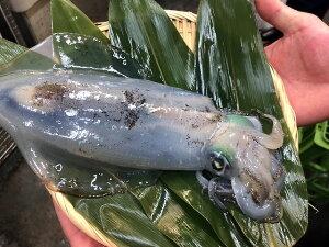 活けアオリイカ( 生・冷蔵 )  イカの横綱!「甘み」があり、ねっとりと絡みつくような食感!お刺身に!天麩羅、焼き物、炒め物も。700〜800gのアオリイカを捌いてお届けいたします!内房