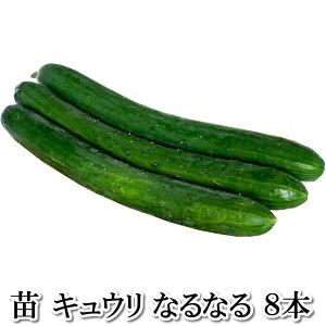 野菜苗!【苗】なるなる【キュウリ】きゅうり 胡瓜 8本セット (9cmポット)鹿児島