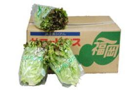 【箱売り】 サニーレタス 1箱(12〜18束) 長野・福岡産 【業務用・大量販売】