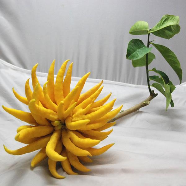 仏手柑 (ぶっしゅかん・ブシュカン) 枝付き大サイズ 《ミカン・みかんの仲間で甘く濃厚な香りがします。》 九州・唐津の柑橘系 【RCP】