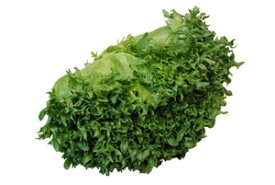 フリルアイス(フリルレタス・レタス・れたす)  1株 サラダ野菜! 【福岡・佐賀・長野産】