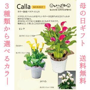 カラー【おまかせ】【母の日 対応商品】母の日ギフト 志木フラワーのカラー5号鉢植え (2色からおまかせ) (毎年咲きます) オランダ屋 2021  鉢植え プレゼント 花 母の日ギフト