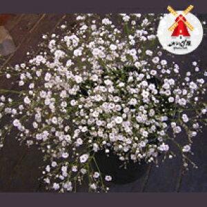 ◆かすみ草5本◆バラ50本とのセット用