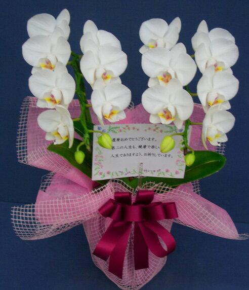 胡蝶蘭スーパーアマビリス2本立ち【誕生日プレゼントに最適】
