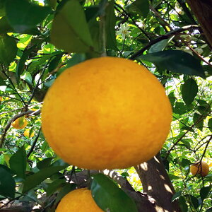 まずはお試し 無農薬 訳あり 甘夏 3kg熊本県産のあまなつを農家さんから直送!人気の柑橘!ご家庭用 訳ありになります。九州から関東まで送料無料!沖縄・東北・北海道は別途1500円でお届
