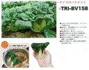 【中国野菜】ミニパクチョイ TRI-BV158〔ダイヤ交配〕/20ml