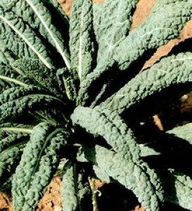 【世界の葉菜】アスパラガスキャベツ(リーフブロッコリー)/小袋