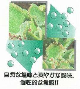 【世界の珍しい野菜】アイスプラント プリアン/小袋