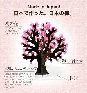 Magic梅マジック梅(マジックプラム)●時間で梅の花が満開に新元号令和にちなんだグッズおとぎの国