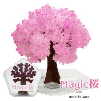 Cherry in cherry tree of magic series magic Sakura mini hand made bloom like a bonsai indoors popular magic cherry mini magic Sakura cherry blossom mini bonsai international souvenir making