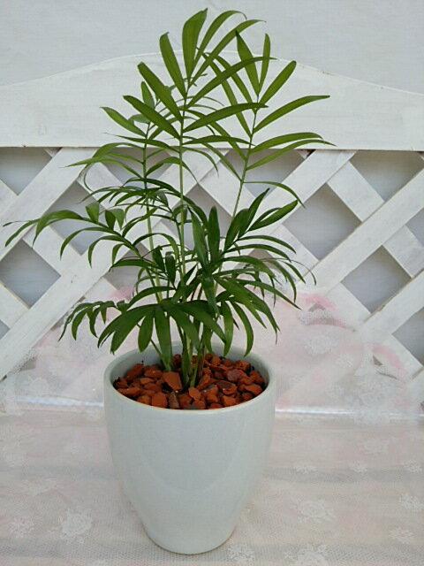 [人気の観葉植物]テーブルヤシ 4号 陶器鉢入り 白色 テーブルサイズ ミニ インテリア プレゼント