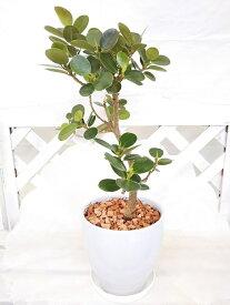 【観葉植物】【希少種】パンダガジュマル 陶器鉢入り キジムナーの宿る木、プレゼントやインテリアとして人気の観葉植物 受け皿付き