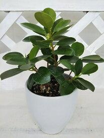 【観葉植物】【希少種】パンダガジュマル 4号陶器鉢入り キジムナーの宿る木、プレゼントやインテリアとして人気の観葉植物 受け皿付き