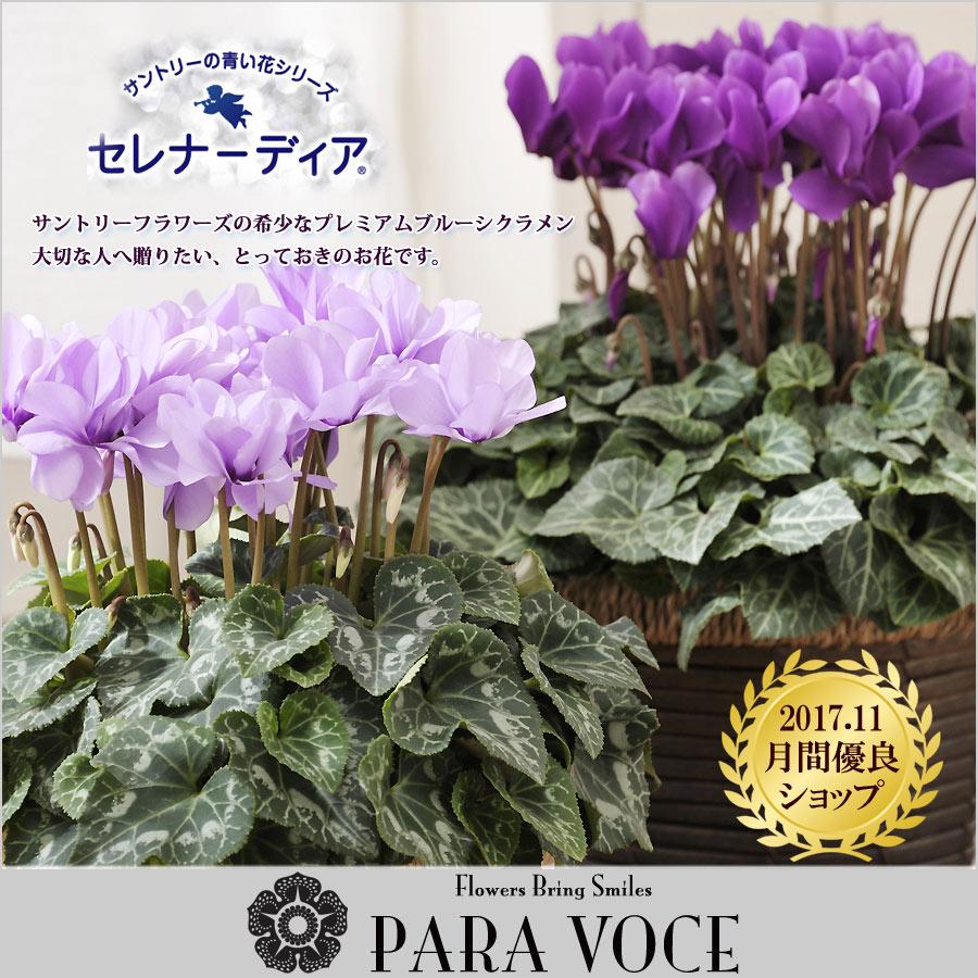 サントリーフラワーズの青いシクラメン セレナーディア ブルーシクラメン 鉢植え(アロマブルー・ライラックフリル )