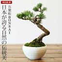 五葉松 盆栽(ミニ盆栽 bonsai ボンサイ) 翠松園 撰【包装不可・のし不可 ご了承ください。】/ギフト お祝い …